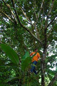 Rambutan_tree
