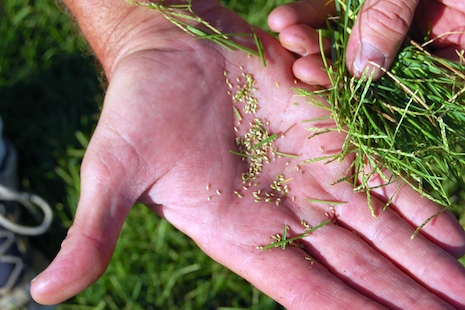 Sea spray paspalum seed in hand