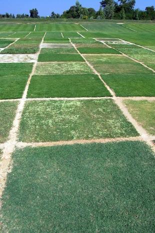 Warm_season_grass