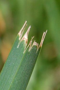 Leaf-blade-mow 2