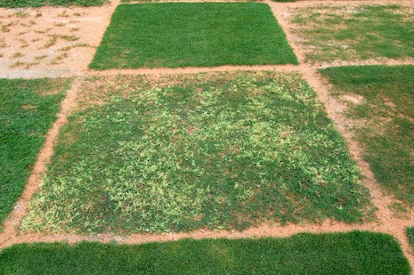 Bermudagrass-white-leaf