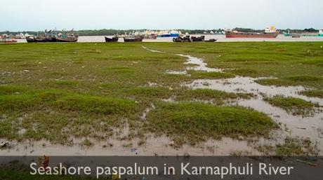 Seashore_paspalum_chittagong