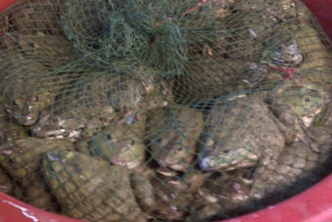Frogs_at_market