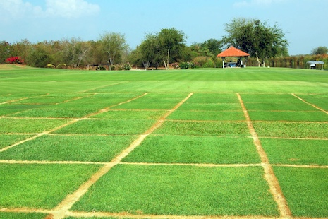 Zoysia_asian_turfgrass_center