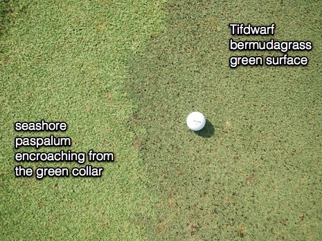 Paspalum_left_bermuda_right