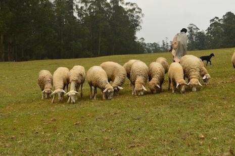 Sheep_mow