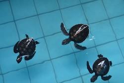 Turtle_right